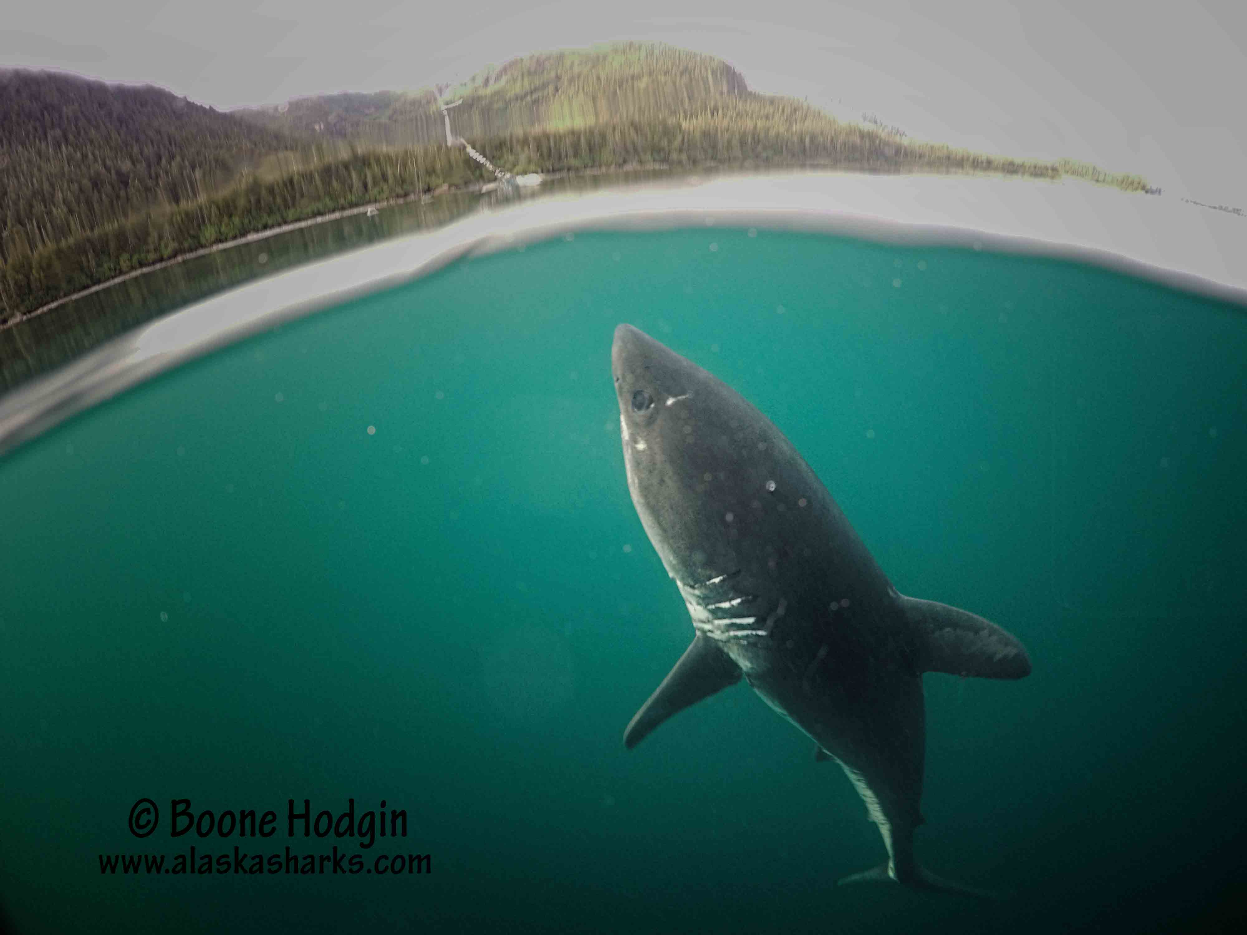 salmon shark over under photo
